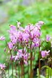 Flores rosadas, meadia de Dodecatheon Fotografía de archivo