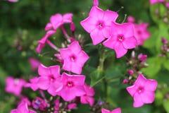 Flores rosadas minúsculas vibrantes Foto de archivo