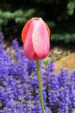 Flores rosadas mojadas del tulipán y del Ajuga Imagen de archivo
