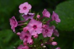 Flores rosadas muy bastante oscuras del polemonio en jardín foto de archivo
