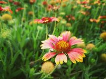 flores rosadas naturales hermosas en el parque imagenes de archivo