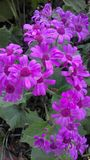 Flores rosadas oscuras Imagen de archivo libre de regalías