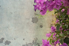 Flores rosadas oscuras de la buganvilla contra el muro de cemento Fotografía de archivo