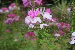 Flores rosadas oscuras hermosas de la hierba fotos de archivo libres de regalías