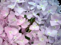 Flores rosadas púrpuras Fotos de archivo