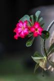 Flores rosadas Planta color de rosa del desierto Fotografía de archivo