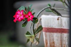 Flores rosadas Planta color de rosa del desierto Foto de archivo libre de regalías