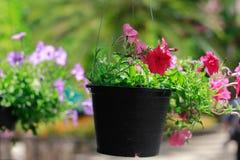 Flores rosadas plantadas en los potes negros colgados Fotos de archivo libres de regalías