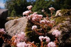 Flores rosadas preciosas en la roca foto de archivo