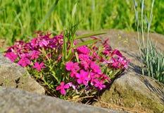 Flores rosadas - primavera en el jardín Imagen de archivo