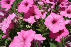 Flores rosadas que entran en la floración Imagen de archivo