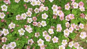 Flores rosadas que sacuden el fondo floral almacen de video