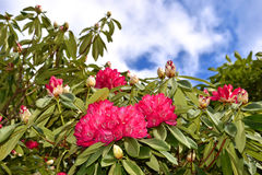 Flores rosadas - rododendro Fotos de archivo