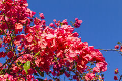 Flores rosadas rojas de la primavera Fotografía de archivo libre de regalías