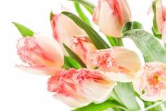 Flores rosadas suaves del tulipán en el fondo blanco Fotografía de archivo