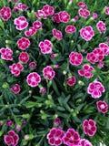 flores rosadas vibrantes del clavel Imagen de archivo