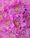 Flores rosadas vibrantes del crisantemo, fondo natural Fotografía de archivo libre de regalías