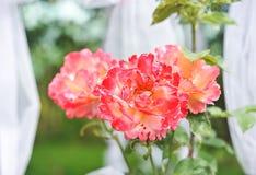 Flores rosadas vibrantes en fondo borroso, al aire libre Fotos de archivo libres de regalías
