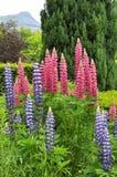 Flores rosadas y altramuz azul Imagenes de archivo