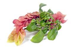 Flores rosadas y amarillas de la planta de Justicia Brandegeana Fotos de archivo libres de regalías