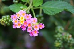 Flores rosadas y amarillas del Lantana Imagen de archivo