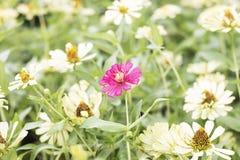 Flores rosadas y amarillas hermosas en el campo de flores Imagenes de archivo