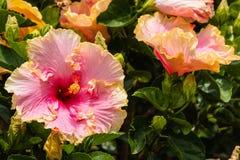 Flores rosadas y anaranjadas del hibisco Foto de archivo