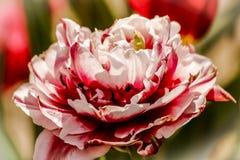 Flores rosadas y blancas Fotografía de archivo