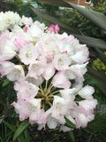 Flores rosadas y blancas del rododendro Fotografía de archivo