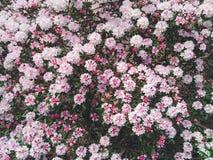 Flores rosadas y blancas en un jardín Fotos de archivo libres de regalías