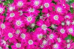 Flores rosadas y Cineraria blanco Fotografía de archivo