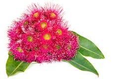 Flores rosadas y hojas del eucalipto aisladas en blanco Foto de archivo libre de regalías