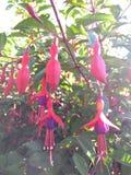 Flores rosadas y púrpuras imagen de archivo