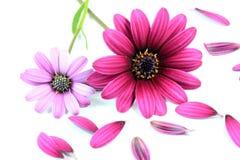 Flores rosadas y púrpuras de la margarita Foto de archivo libre de regalías