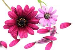 Flores rosadas y púrpuras de la margarita Imagen de archivo libre de regalías