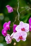 Flores rosadas y púrpuras de la orquídea Fotografía de archivo libre de regalías