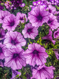 Flores rosadas y púrpuras de la petunia Fotografía de archivo libre de regalías
