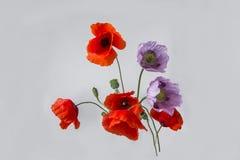 Flores rosadas y rojas de la amapola Imagenes de archivo