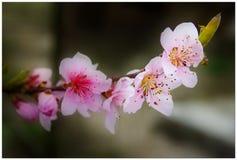 Flores rosados Imagenes de archivo