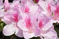 Flores rosados de la azalea en Hong Kong fotos de archivo libres de regalías