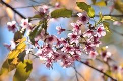 Flores rosados de la cereza Foto de archivo libre de regalías