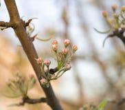 Flores rosados de las manzanas con las hojas jovenes Foto de archivo libre de regalías