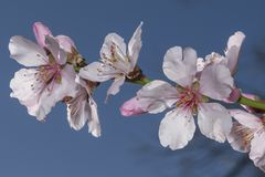 Flores rosados de las flores de Sakura foto de archivo libre de regalías