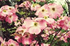 Flores rosados del cornejo Foto de archivo libre de regalías
