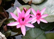 Flores rosados del loto Fotos de archivo libres de regalías