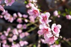 Flores rosados del melocotón con el fondo borroso Imágenes de archivo libres de regalías