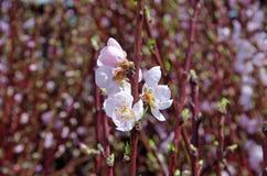 Flores rosados del melocotón de la primavera Imágenes de archivo libres de regalías