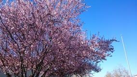 Flores rosados del resorte Imagen de archivo libre de regalías