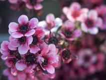Flores rosados del resorte Foto de archivo