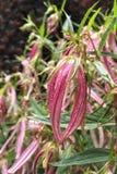 Flores rosados delicados de la flor de la clemátide Imagen de archivo